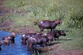 Capybara_of_the_Pantanal.jpg