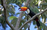 Toco_Toucan_of_the_Pantanal.jpg