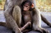 Chacma Baboon Baby, Kruger N.P. South Africa