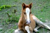 Wild Horses of Turks and Caicos - colt sitting