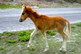 Wild Horses of Turks and Caicos - colt standing