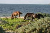 Wild Horses of Turks and Caicos - grazing by the sea