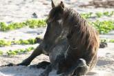 Wild Horses of Turks and Caicos - on the beach