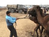 Fighting Camel, Turkmenistan Market